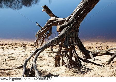 Trunks And Roots Of Trees On The Sand On The Shore Of The Reservoir
