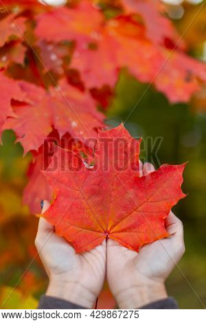 Orange Maple Leaf In Caucasian Woman Palms. Colorful Red Maple Leaves On Background. Hello Autumn Co