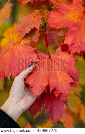 Orange Maple Leaf In Caucasian Woman Hand. Branch With Colorful Red Maple Leaves. Hello Autumn Conce