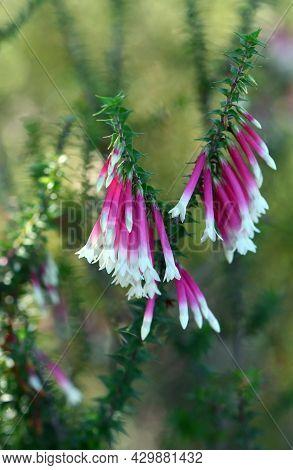 Pink And White Bell-shaped Flowers Of The Australian Fuchsia Heath, Epacris Longiflora, Family Erica