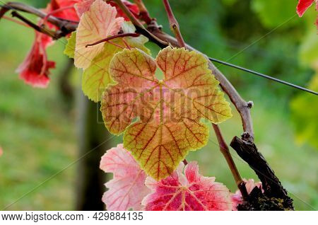 Vitis Vinifera Autumn Leaf Of A Common Grape Vine In The Rhine Valley Near Königswinter