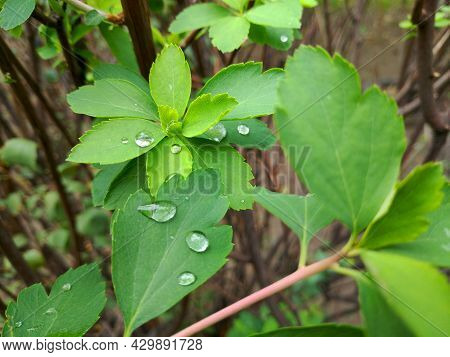Water Drops After The Last Rain Lie On The Green Leaves Of A Bush, A Bush With Bright Green Leaves A