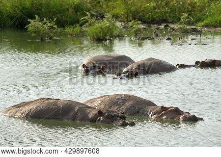 Hippo (hippopotamus Amphibius), Queen Elizabeth National Park, Uganda