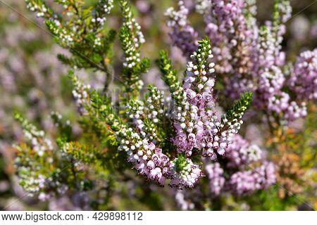 Cornish Heath Pink Flowers. Erica Vagans Or Wandering Heath Plants.