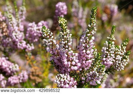 Erica Vagans Or Wandering Heath Plants. Cornish Heath Light Pink Flowers.