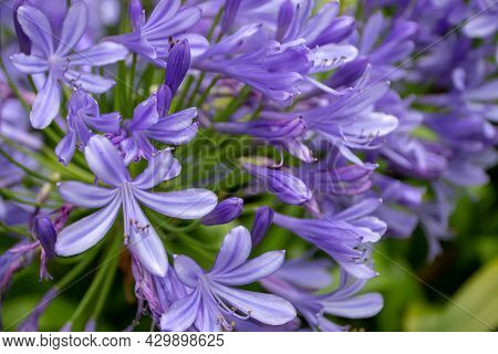 Agapanthus Blue Flowers Closeup. Lily Of The Nile Or African Lily Flowering Plant.