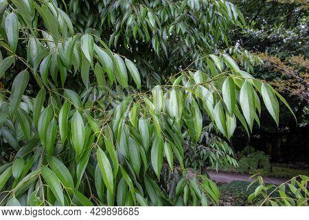 Cinnamon Tree Branch With Glossy Leaves. Cinnamomum Verum Plant.
