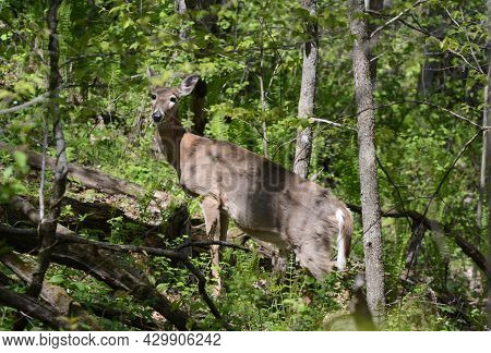 Bright Spring Vista Of A North American Whitetail Deer Standing Still In An Upland Forest Habitat.