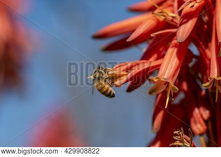 Barbadensis Aloe Vera Flower In Bloom With Bees Sucking The Nectar And Pollinating. Blooming Aloe Ve
