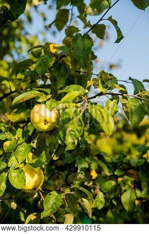 Colorful Outdoor Shot Containing A Bunch Of Green Apples On A Branch.harvest Time Orchards. Apple Pi