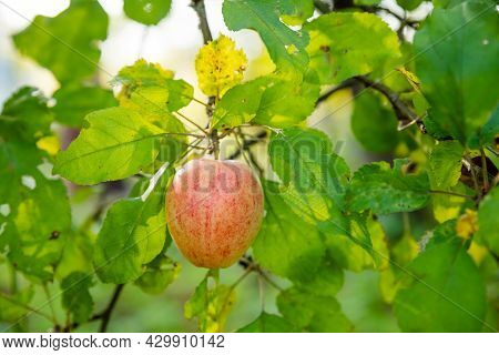 Colorful Outdoor Shot Containing A Bunch Of Red, Green Apples On A Branch.harvest Time Orchards. App