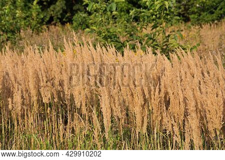 High Dry Grasses In The Meadow, Dried Plants In Summer, Summer Grasses