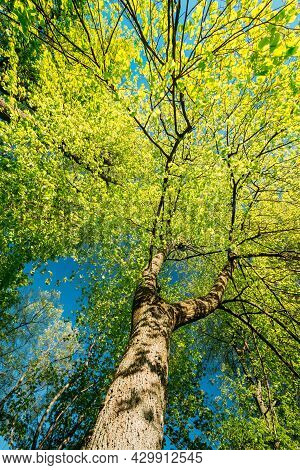 Spring Canopy Of Tall Tree. Deciduous Forest, Summer Nature At Sunny Day. Upper Branches Of Tree Wit
