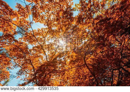 Spring Sun Shining Through Canopy Of Tall Maple Tree Wood. Sunlight In Forest, Summer Nature. Upper