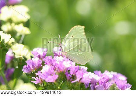 Yellow Butterfly Sitting On Purple Statice Flower In Garden Closeup Background