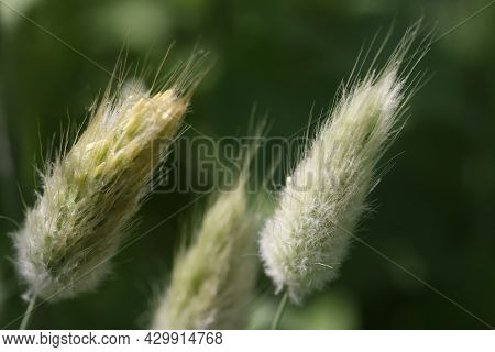 Closeup Of Bristle Grass Growing On Meadow Background