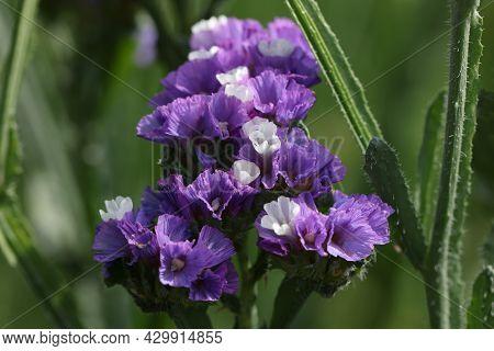 Statice Kermek Flowers Growing Among Green Plants In The Garden Closeup