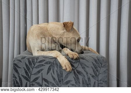 Light-haired Dog Lying On A Puff In The Living Room On Gray Curtain Background. Domestic Animal Reig