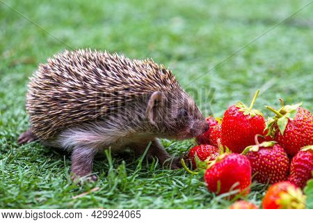 Red Several Strawberries In Summer And Hedgehog