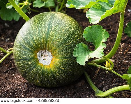 A Large Round Zucchini Of Green Color. Zucchini In The Garden.