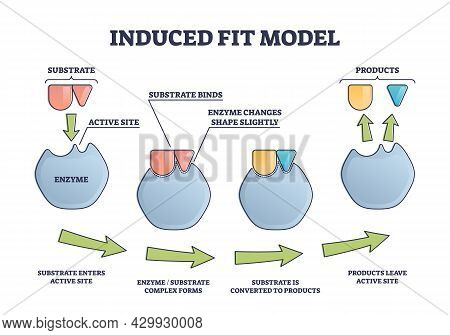 Induced Fit Model Process Explanation With Enzyme Active Site And Products Outline Diagram. Labeled