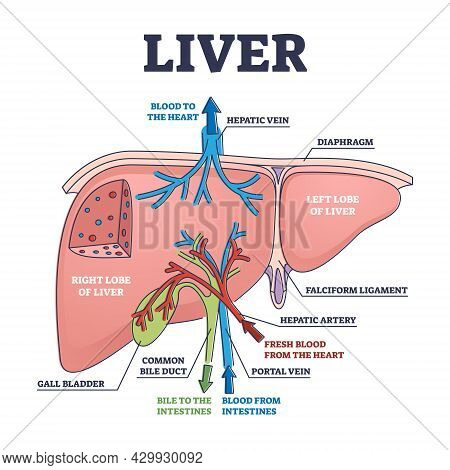 Liver Structure And Anatomical Organ Function Explanation Outline Diagram. Educational Labeled Descr