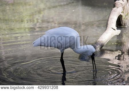 The Royal Spoonbill Is A Tall White Bird With Black Legs And A Long Black Spoon Like Beak