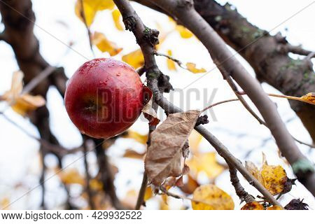 Ripe Red Apple On Branch. Beautiful, Large Apple Is Hanging On Branch Of Apple Tree With Yellow Autu