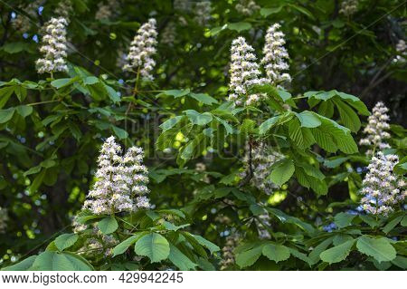 Chestnut Blossom, Branch Of Blossoming Chestnut Tree With Leaves And Flowers, Spring Natural Backgro