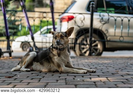 A Young Mongrel Dog In Collars With A Sad And Guilty Muzzle. Lying On The Sidewalk Near The Road.