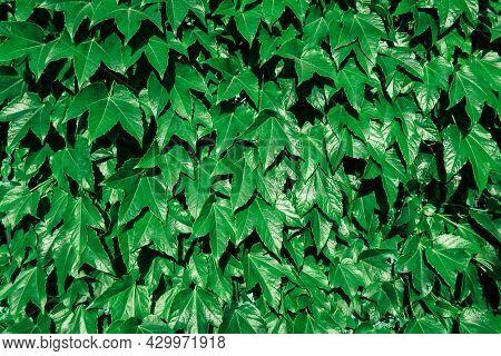 Bright Green Ivy Wall Texture. Hedera Helix Fresh Shiny Lush Foliage. Background