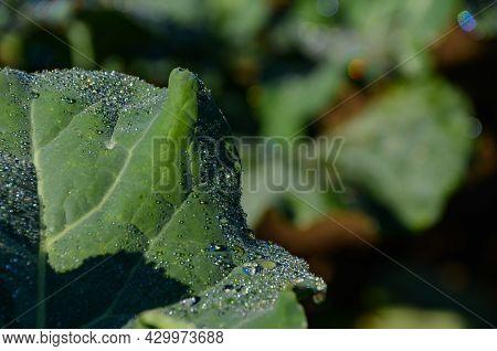 Vegetable Leaf With Dew At Dawn - Vegetable Leaf With Dew At Dawn