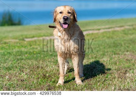 Wet Golden Labrador Dog Staying Near The Water.very Happy Labrador Retriever. Water Is Near.copy Spa