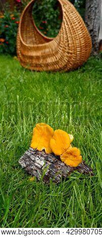 Yellow Chanterelle (cantharellus Cibarius). Chanterelle Mushrooms Is A Species Of Golden Chanterelle