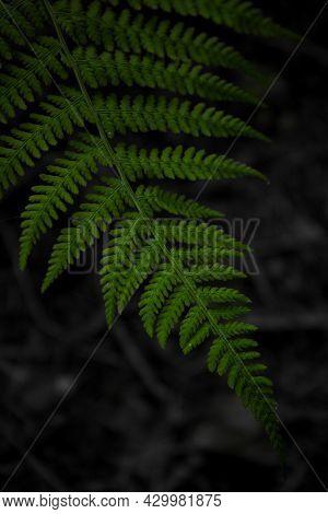 Green Fern Leaves Black Background. Vibrant Green Foliage. Tropical Leaf. Exotic Forest Plant. Botan