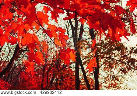 Autumn forest landscape. Autumn trees, bright red autumn leaves on the autumn trees. Creative tones processing. Autumn landscape, autumn trees, autumn park, autumn outdoors