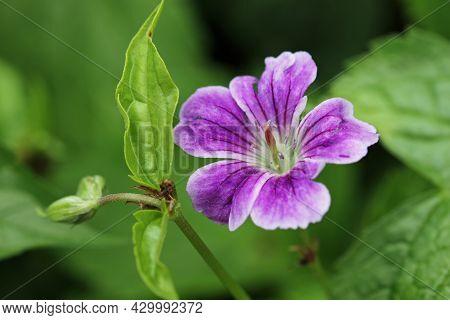 Purple With White Margins Knotted Cranesbill, Geranium Nodosum Variety Whiteleaf, Flower Close Up Wi