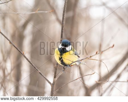 Cute Bird Great Tit, Songbird Sitting On A Branch Without Leaves In The Autumn Or Winter. Parus Majo
