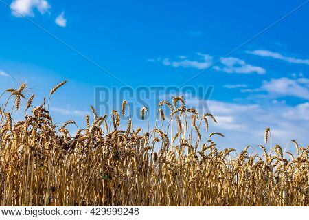 Close-up Of Ears Of Ripe Wheat Against The Blue Sky. Wheat Field. The Idea Of A Rich Harvest. Backgr