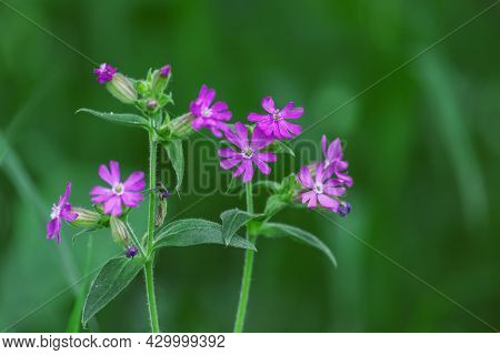Purple Prairie Phlox With A Green Background In Soft Focus. Prairie Phlox Wildflower (also Known As