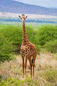 Giraffe standing on grassland savanna. Safari in Tsavo West, Kenya, Africa poster
