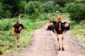 Two ostrich on road in bush in Africa. Safari in Tsavo West, Kenya poster