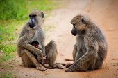 Baboon monkeys - a parent and a baby in African bush. Safari in Tsavo West, Kenya poster