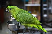 Green Parrot Eating Seed Hong Kong Bird Market poster