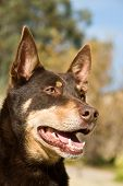 alert australian kelpie dog portrait outdoors detailing head poster