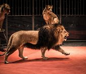 Gorgeous roaring lion walking on circus arena and lioness sitting poster