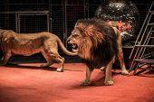 Gorgeous roaring lion walking on circus arena poster