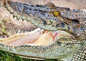 Saltwater or Estuarine Crocodile (crocodylus porosus), Indonesia poster