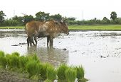 a pair of ox working in a paddy field in india poster
