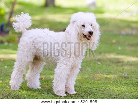 Shot Of A Poodle Standing In The Garden